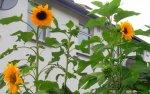 Sunflowers, back garden.JPG